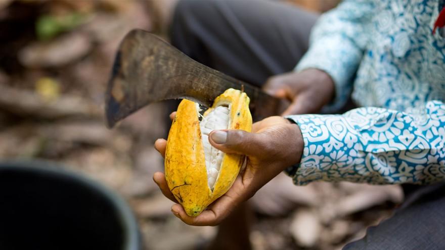 Kakaobohnen aufschneiden ©tonyschocolonely