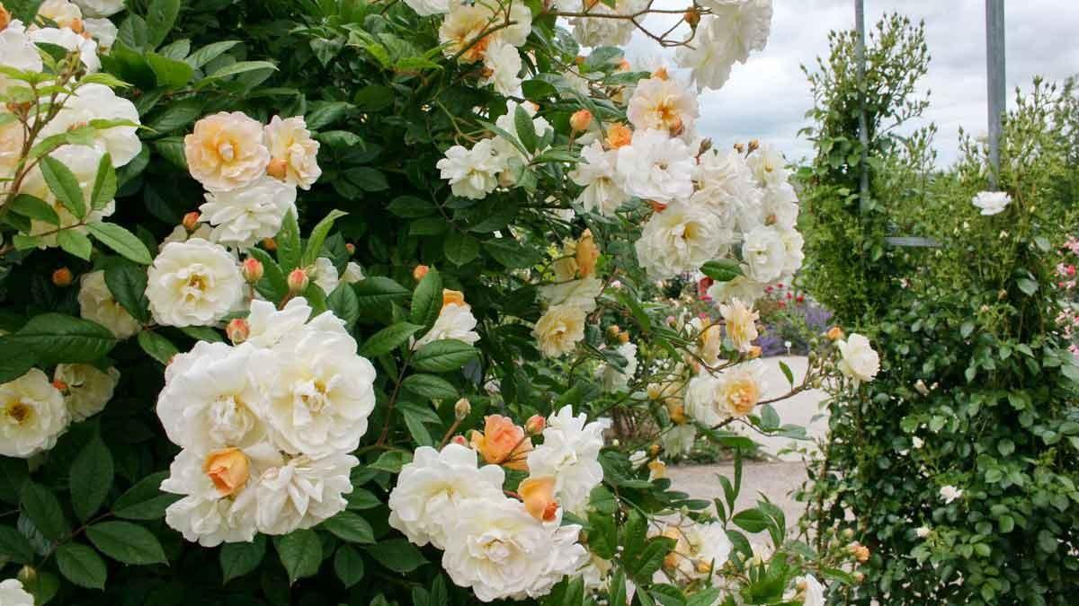 Europe Rose Garden Sangerhausen – Photo: Rosenstadt Sangerhausen GmbH/Karin Thom 3
