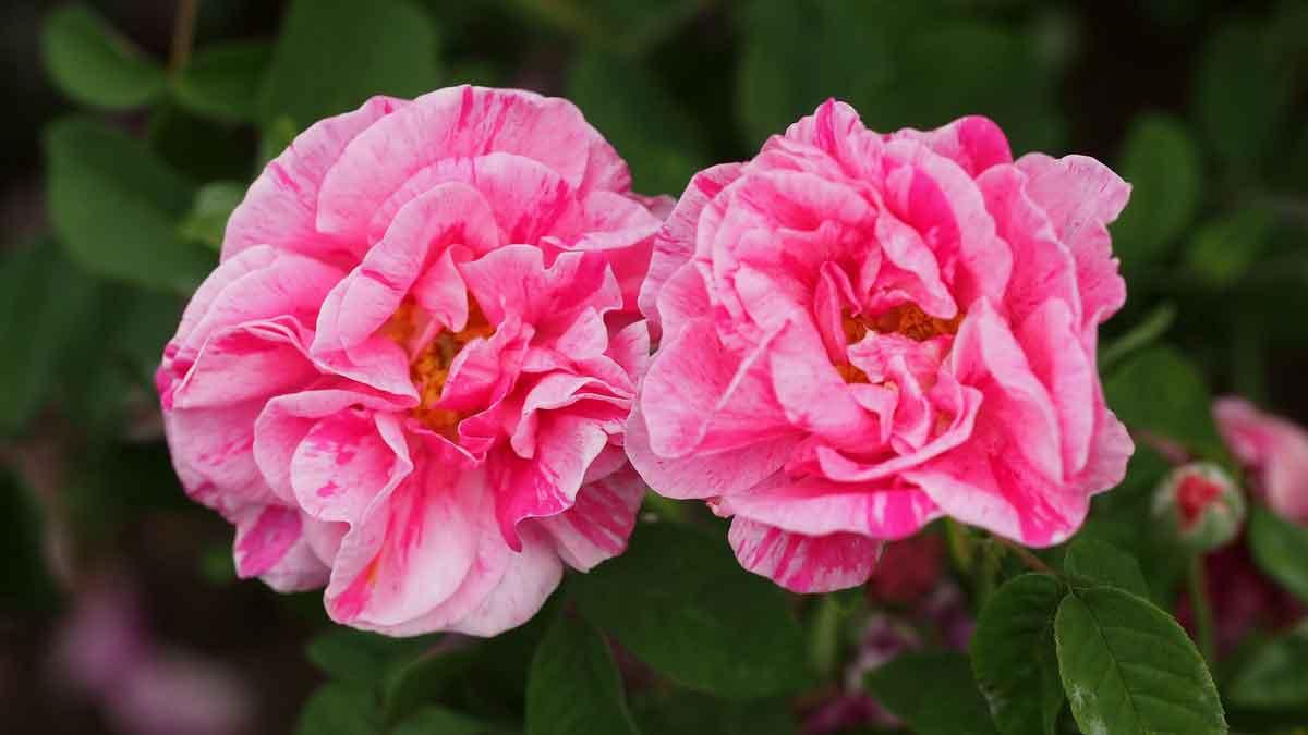 Rosa gallica L. 'Versicolor'