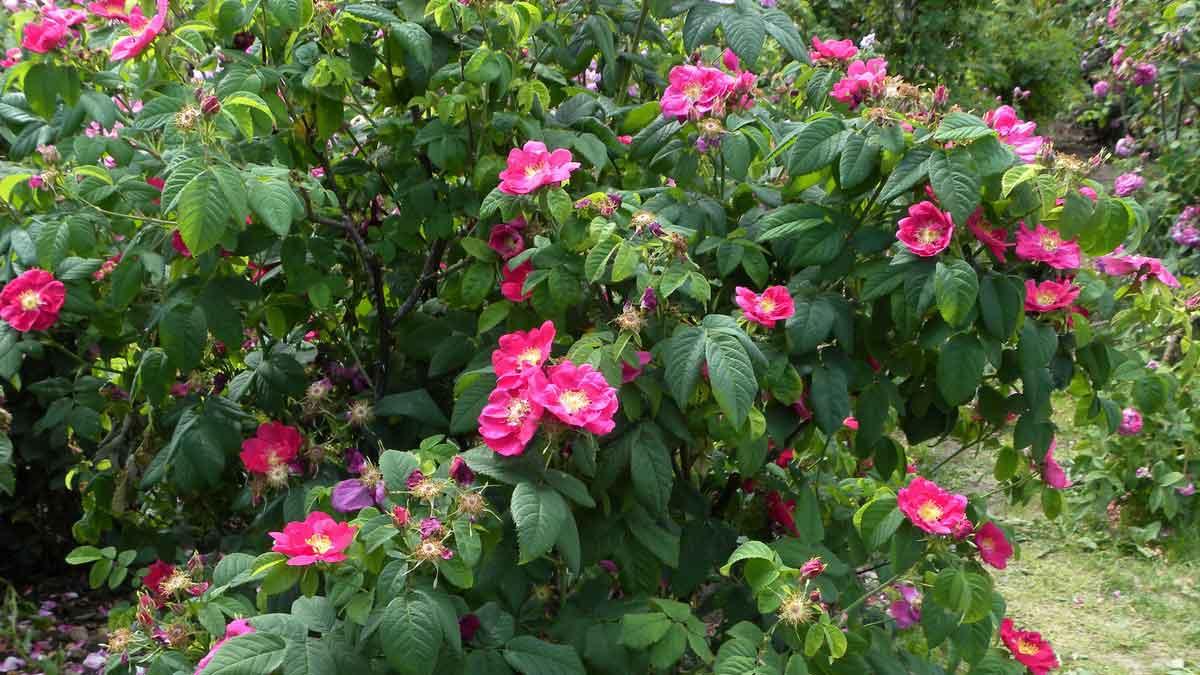 Rosa gallica L. var. splendens HORT. 'Splendens'