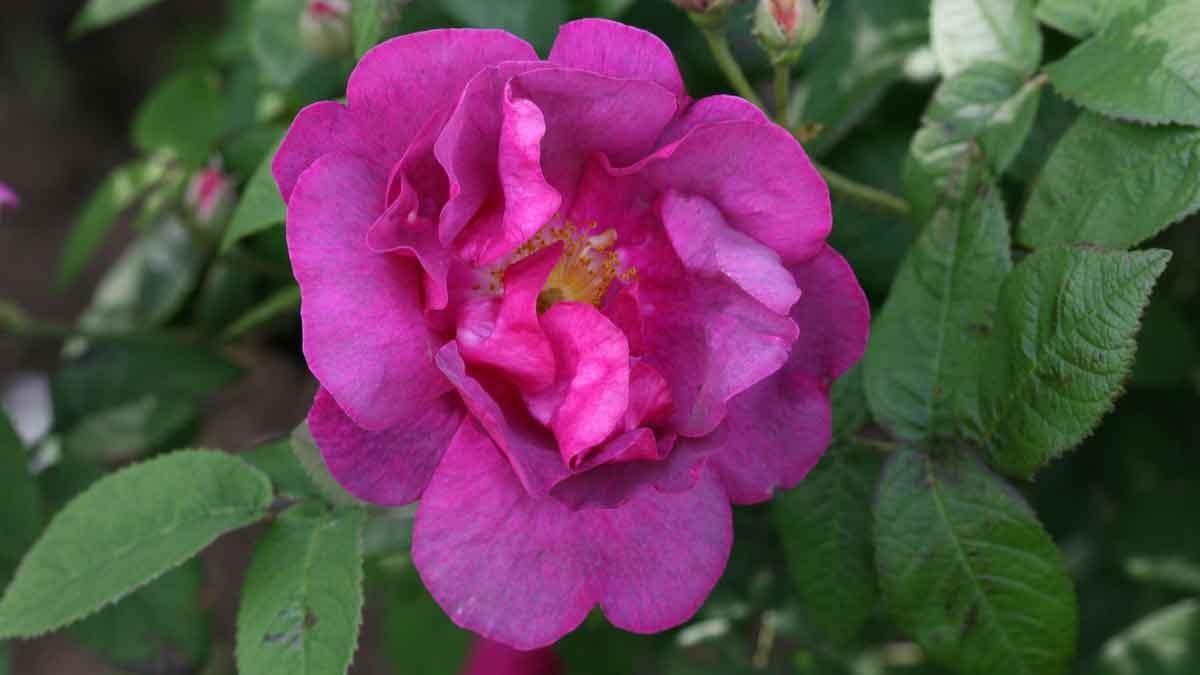 Rosa gallica var. officinalis 'Officinalis'
