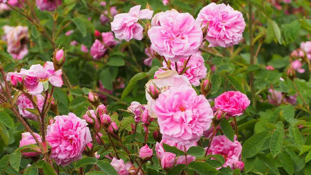 Rosa x centifolia L. var. muscosa (MILL.) SER. 'Muscosa'