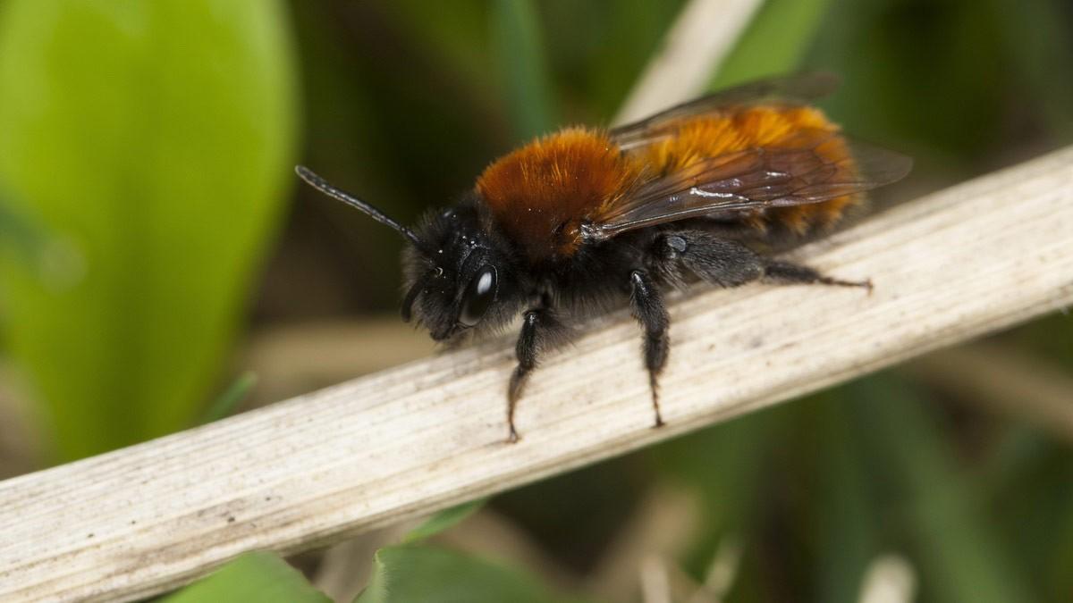 Rotpelzige Sandbiene – Foto: Frank Hecker / Ulmers Wildbienenwelt