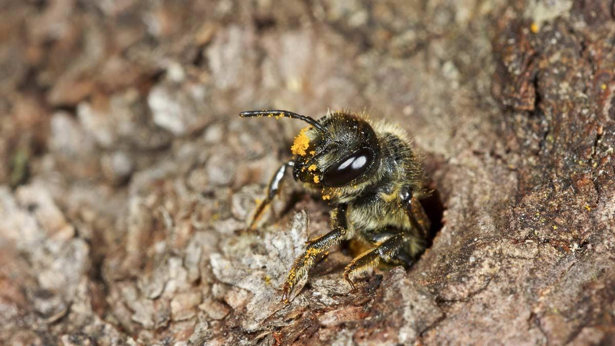 Weidenröschen Blattschneiderbiene – Foto: Frank Hecker / Ulmers Wildbienenwelt