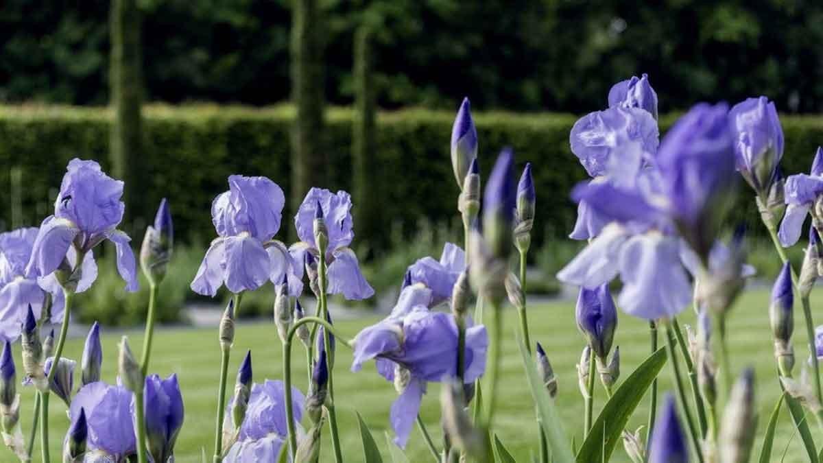 Schwertlilien (Iris) waren beliebte Bildmotive von Claude Monet und Vincent van Gogh. – Foto: Luckner